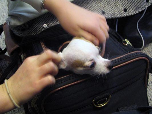 Fliegen mit Hund im Koffer