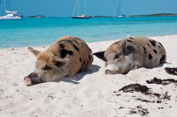 Bahamas Schwein Schlafen