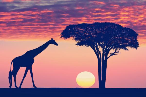 Afrika Tansania Sonnenuntergang Giraffe