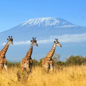 Giraffen zum Frühstück: Das Giraffe Manor Hotel in Kenia