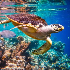 Praktikum auf den Malediven: Schildkrötenpfleger im Paradies gesucht