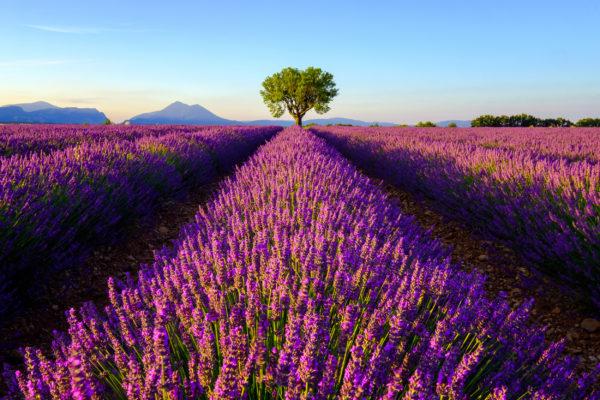Frankreich Provence Lavendel Sonnenaufgang