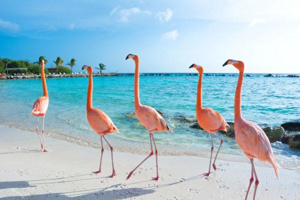 Aruba Pinkte Flamingos Marsch
