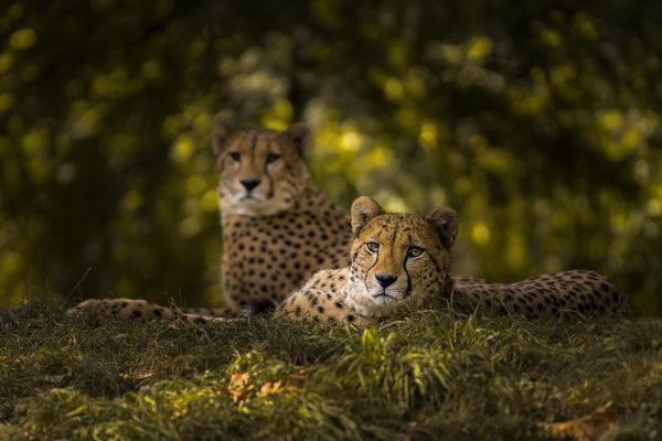 Zoo Geparden