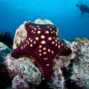 Costa Rica Tauchen Seestern
