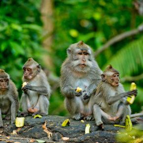 Indonesien Bali Monkey Forest