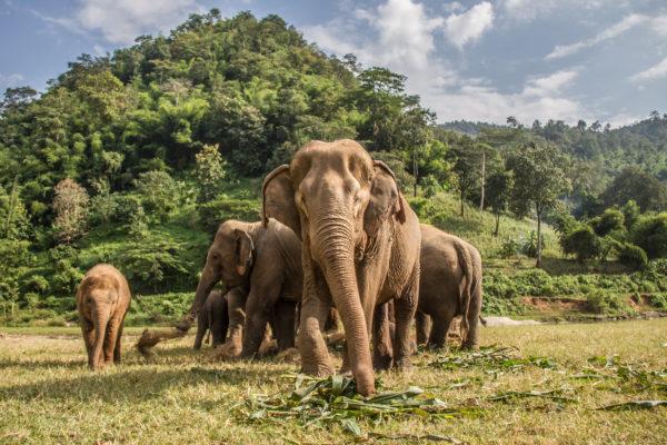 Thailand Chiang Mai Elefanten