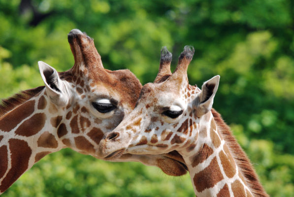 Berlin Zoo Giraffen