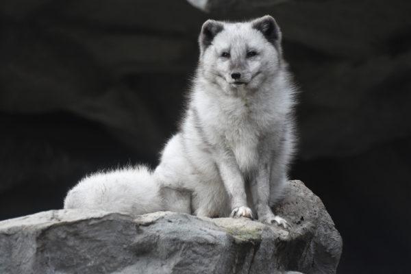 Hellabrunn Zoo Polarfuchs