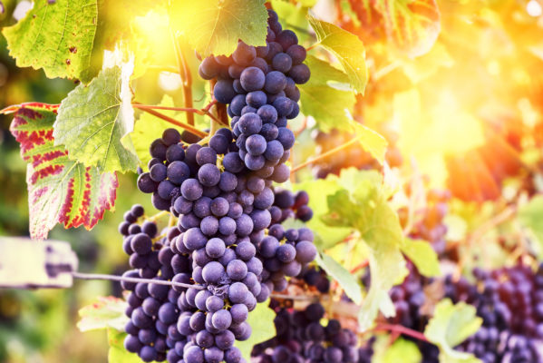 Deutschland Weinbaugebiet Mosel