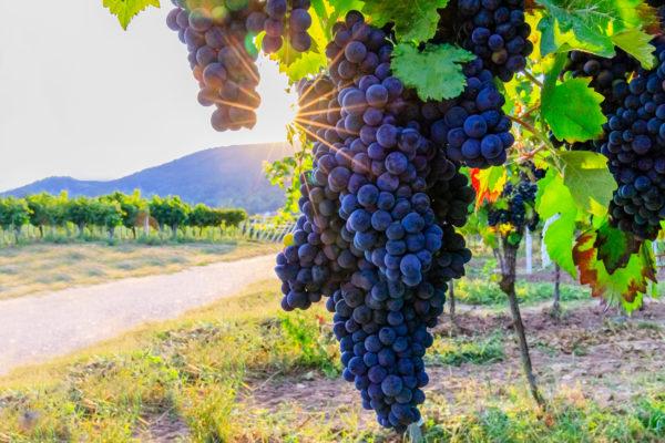 Deutschland Weinregion Pfalz