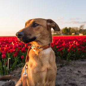 Reiseguide für Holland mit Hund: Tipps, Hundestrände & Ferienhäuser