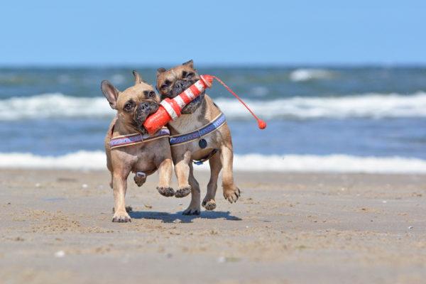 Niederlande Texel Hunde