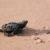 Baby Schildkröte Strand